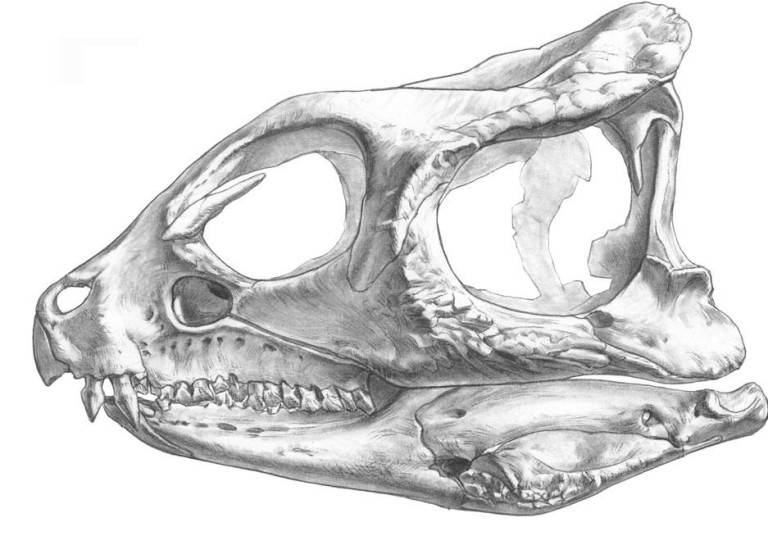 Sketch of Yinlong downsi skull discovered one one of Professor Jim Clarks expeditions to Xinjiangm China.